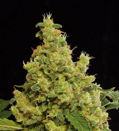 Blue Hash Feminized - Dinafem Seeds