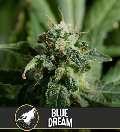Blue Dream by Blim Burn Seeds