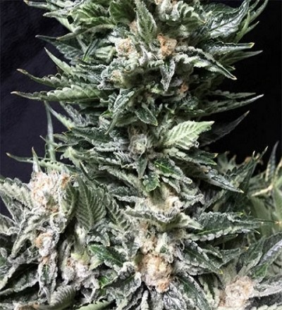 Bruce the Russian by Cream of the Crop Seeds