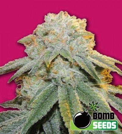 Bubble Bomb Feminized– Bomb Seeds