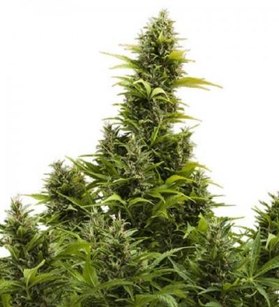 Medikit CBD Auto – Buddha Seeds