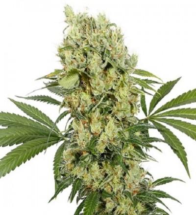 Medikit CBD Feminized – Buddha Seeds