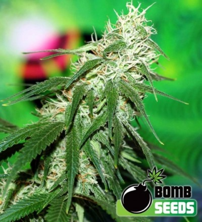 Buzz Bomb Feminized – Bomb Seeds