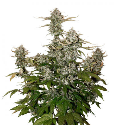 Candy Dawg Auto by Seed Stockers