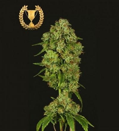 Casey Jones by Devil's Harvest Seeds
