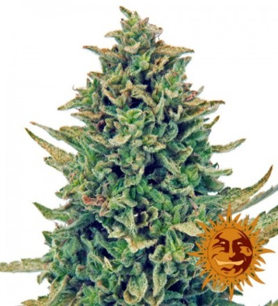 CBD Blue Shark Feminized - Barney's Farm