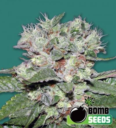 CBD Bomb Feminized – Bomb Seeds