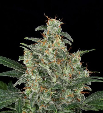 Automatic Cheese – Dinafem Seeds