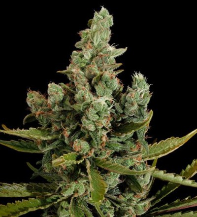 Cheese Feminized - Dinafem Seeds