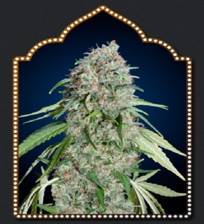 OO Seeds Chocolate Skunk CBD