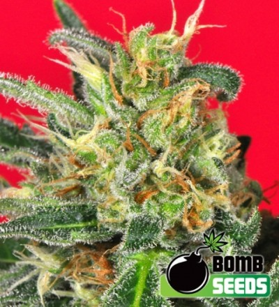 Cluster Bomb Regular - Bomb Seeds