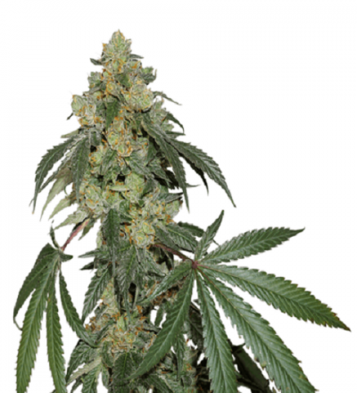 Cookies Fast Feminized by Seedstockers
