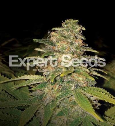 Critical Blue Auto by Expert Seeds