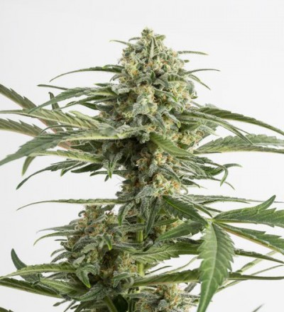 Critical Cheese Auto - Dinafem Seeds