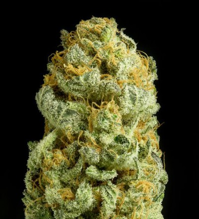 Critical Cheese Feminized - Dinafem Seeds