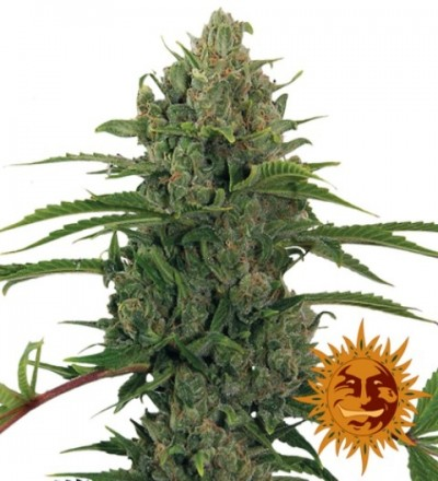 Auto Critical Kush Feminized Marijuana Seeds
