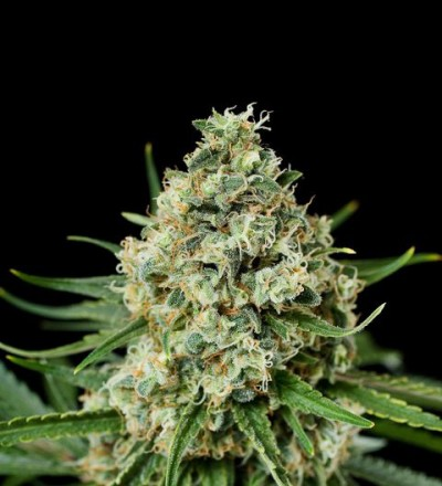 Critical + 2.0 Feminized - Dinafem Seeds