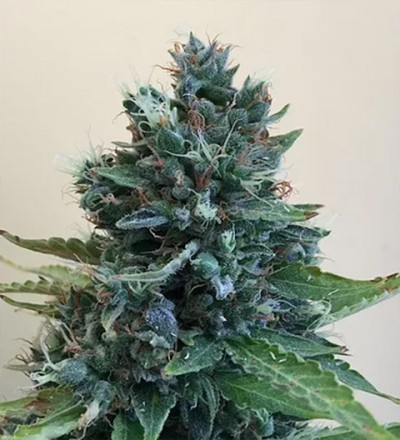 Cropolope by Cream of the Crop Seeds