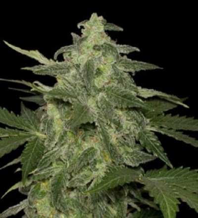 Diesel Matic by Black Skull Seeds