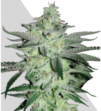 Diesel Berry Marijuana Seeds