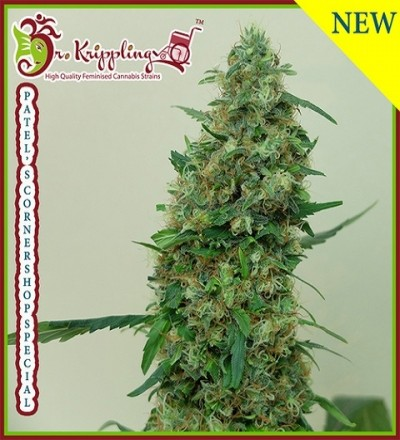 Patel's Cornershop Surprise Feminized by Dr Krippling Seeds