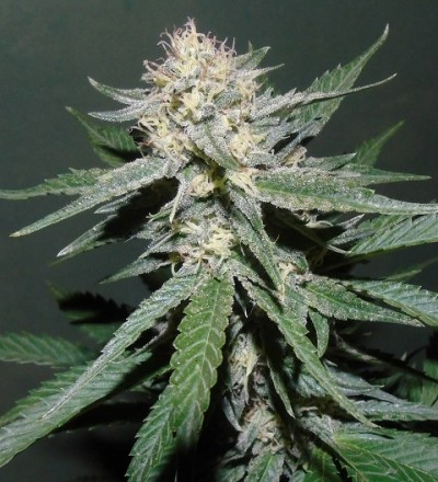 Painkiller by Dr. Underground Seeds