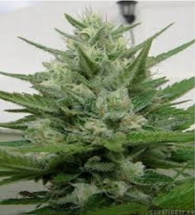 Crystal M.E.T.H. by Dr. Underground Seeds