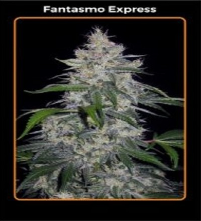 Fantasmo Express by Mephisto Genetics
