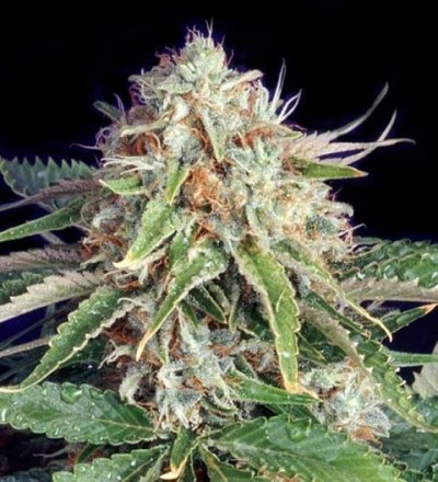 Fast Ryder II by bulldog Seeds