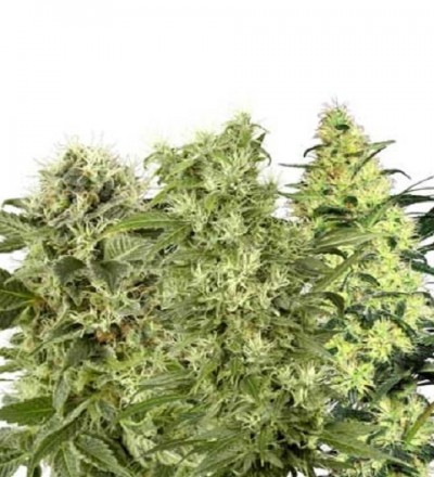 Female Mix Feminized by White Label Seeds