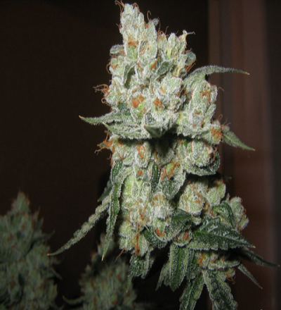 O.G. Kush Regular by Grand Daddy Purp