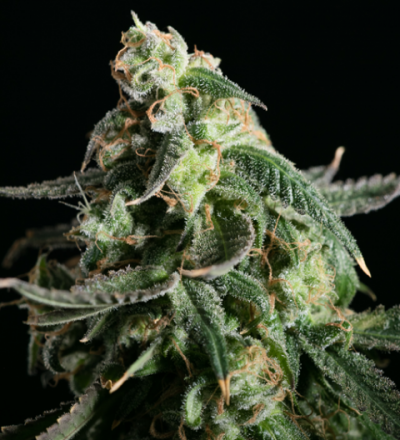 Girl Scout Cookies Feminized - Blim Burn Seeds