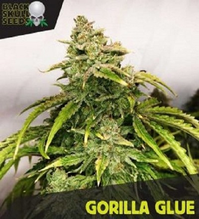 Gorilla Glue by Black Skull Seeds