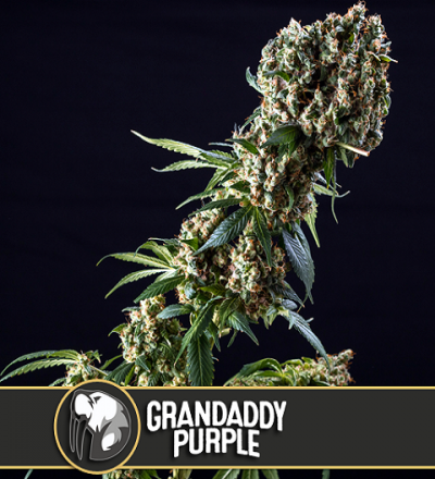 Grandaddy Purple by Blim Burn Seeds