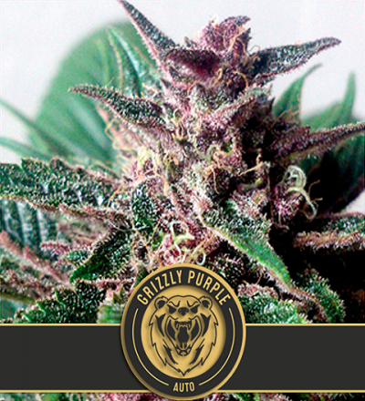 Grizzly Purple Auto by Blim Burn Seeds