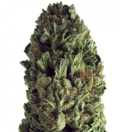 Budzilla Feminized by Heavyweight Seeds