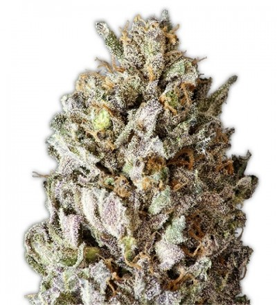 Diesel Drift Feminized by Heavyweight Seeds