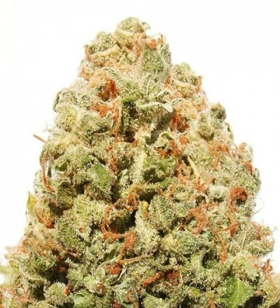 Strawberry Cake Feminized by Heavyweight Seeds