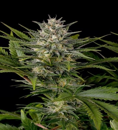 Pineapple Skunk Feminized by HSO Seeds