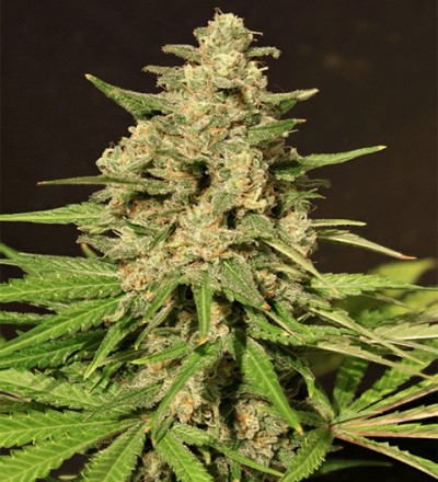 Hybrid X by Cream of the Crop Seeds