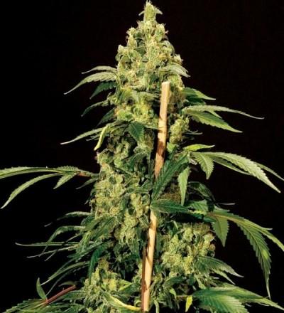 Jack Herer by Bulldog Seeds