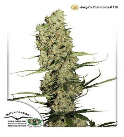 Jorges Diamonds #1 by DP Seeds
