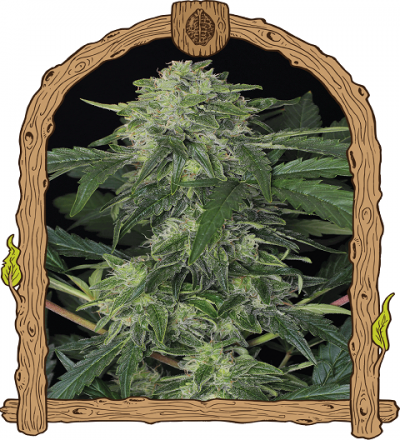 Jungle Fever Auto by Exotic Seeds