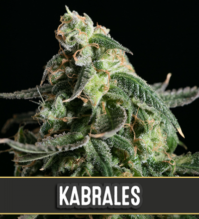 Kabrales Automatic by Blim Burn Seeds