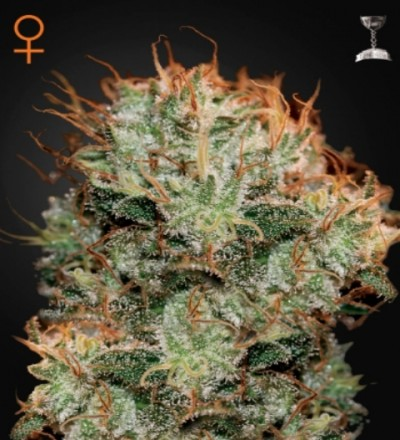 Kaia Kush Feminized Marijuana Seeds