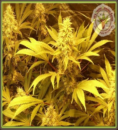 Kali and The Chocolate Factory Feminized by Dr Krippling Seeds