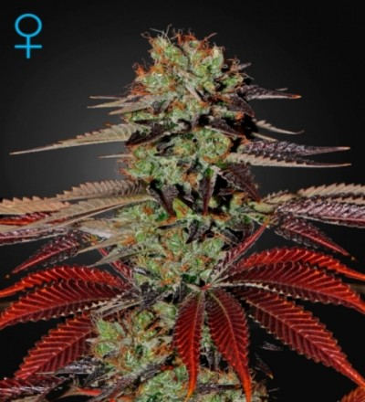King's Kush Auto by Green House Seeds