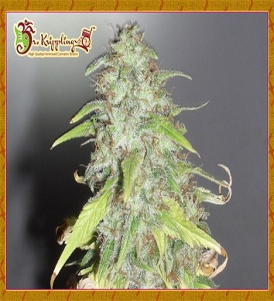 Kripple Shock Feminized by Dr Krippling Seeds