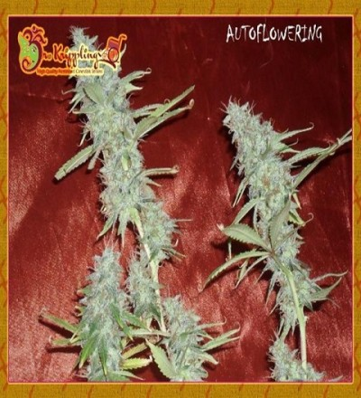 Krippleberry Feminized by Dr Krippling Seeds