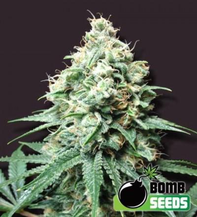 Kush Bomb Feminized – Bomb Seeds